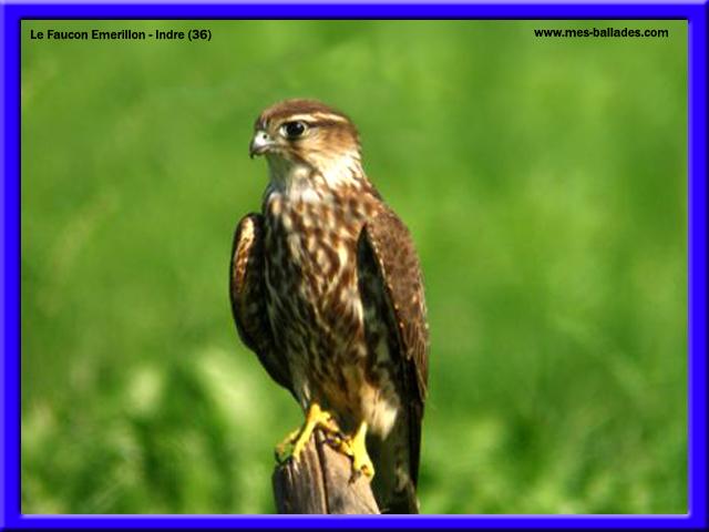 La faune de l 39 indre 36 for Les oiseaux du sud de la france