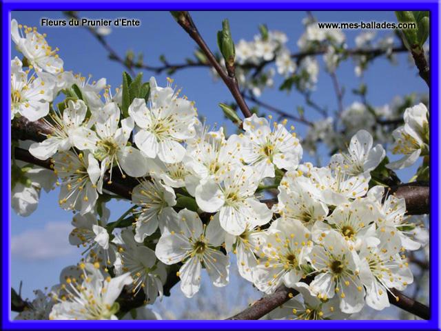 Arbres en fleurs - Quand tailler un prunier ...