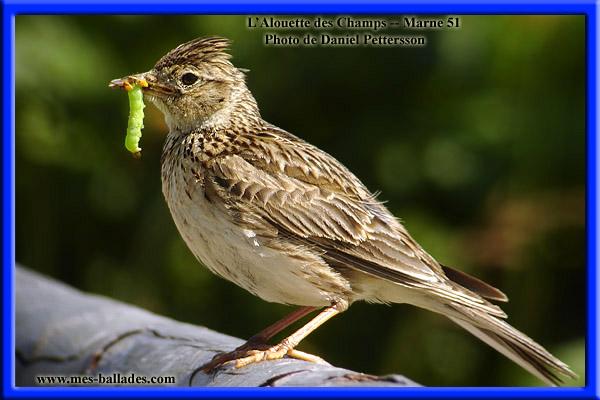 Oiseau chant related keywords suggestions oiseau chant for Oiseau france
