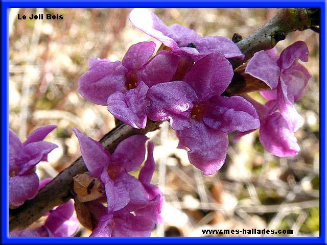 plantes bulbeuses sauvages