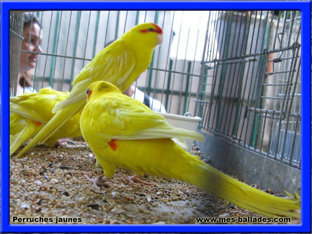 Oiseau bec crochu images for Oiseau jaune france