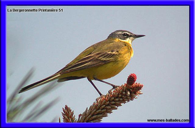 La faune dans la marne 51 for Oiseau longue queue ventre jaune